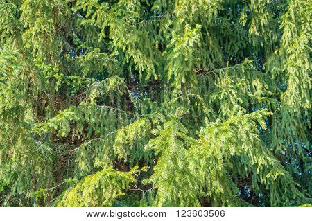 full frame fir tree background in sunny ambiance