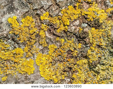full frame natural background showing yellow lichen on bark