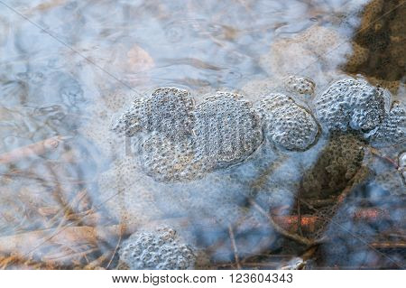 high angle view of some frog spawn clusters in a pond