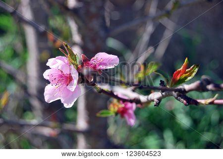 Detalle de rama de árbol con brotes y flores rosas