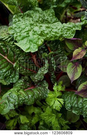 Close up of chard and various plants in a vegetable garden