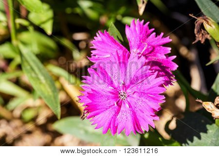 Pink dianthus Chinensis Flowers in the garden