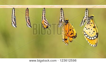 Mature cocoon transform to Tawny Coster butterfly white clipping path