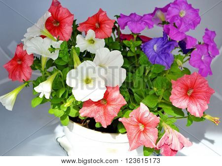 Petunia in a pot. mix petunia flowers