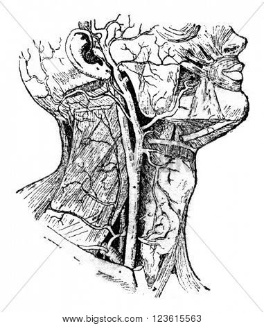 Carotid, vintage engraved illustration. Dictionary of words and things - Larive and Fleury - 1895.