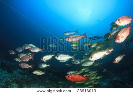 School of reef fish: Crescent-tailed Bigeyes