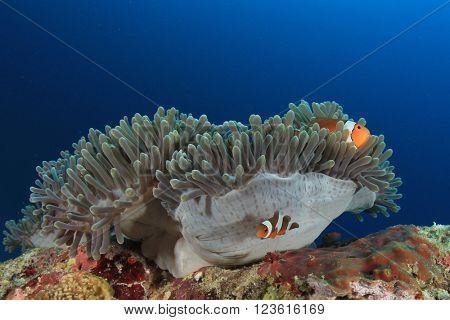 Clownfish on sea anemone