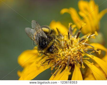 Bumblebee (Bombus Terrestris) Bumblebee pollen collecting on yellow flower