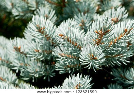 Macro photo of branches of blue spruce with shallow depth of field. Natural background in blue green colors.