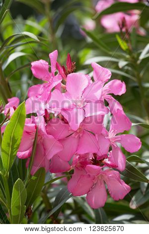Pink flowers of oleander in summer day