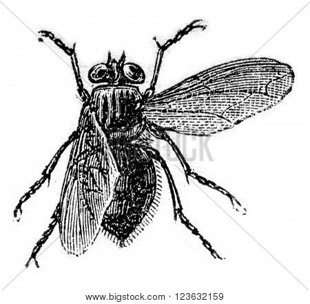 Fly meat, vintage engraved illustration. Magasin Pittoresque 1870.