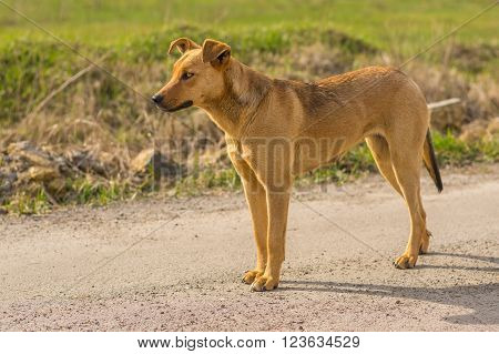 Outdoor portrait of graceful stray female dog looking out for enemies