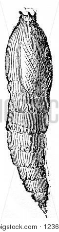 Pupa of Horsefly oxen, vintage engraved illustration. Magasin Pittoresque 1870.