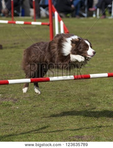 Brown Border Collie dog jumping over hurdle at agility contest