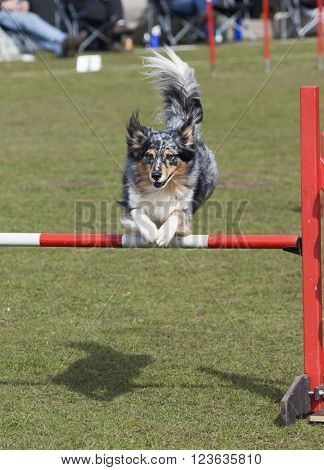 Border Collie crossing hurdle at agility contest