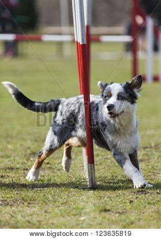 Australian shepherd dog agility slalom racing