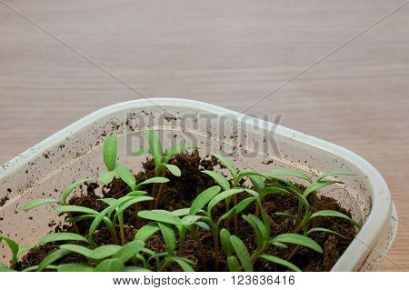 Young Seedling Marigold plant in plastic seed tray