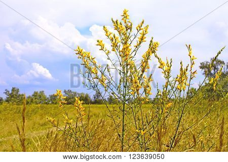 Bunch of wild herbaceous yellow flowers in summertime Kinburn Spit Ukraine