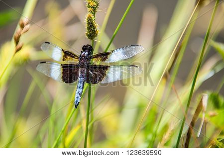 Closeup of a beautiful, blue dragonfly in a lotus pond with timothy grass