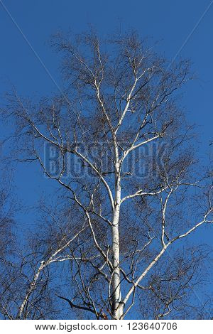birch tree without leaves on a blue background