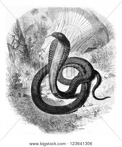 Haje, currently living in the menagerie of the Museum of Natural history, vintage engraved illustration. Magasin Pittoresque 1853.