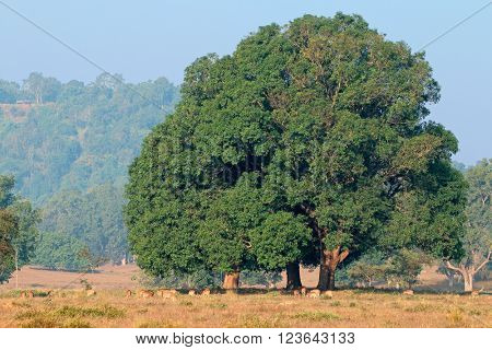 Massive fig tree with spotted deers (Axis axis), Kanha National Park, India