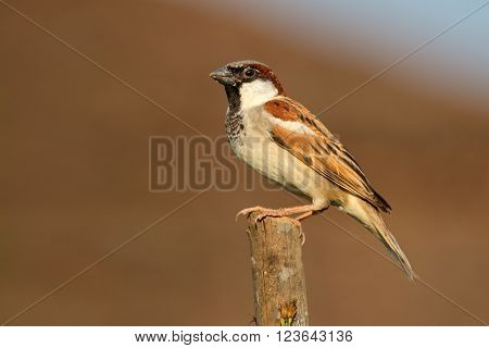 Male Indian house sparrow (Passer domesticus) perched on a branch