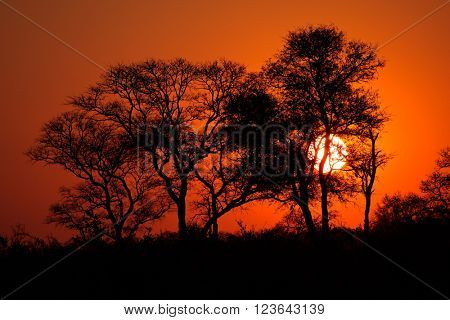 Silhouetted African savanna tree at sunset, South Africa