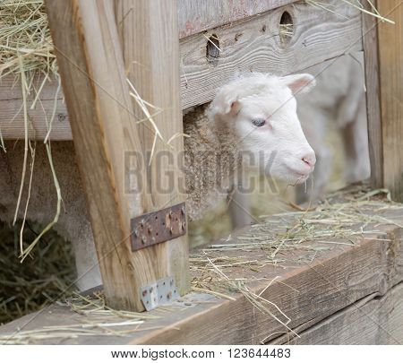 Beautiful newborn white lamb looking out from a sheepfolds