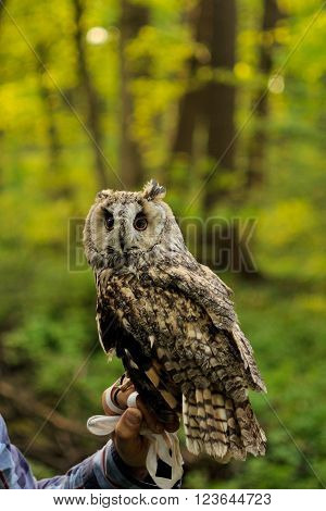 Long Eared owl standing on the human hands in forest