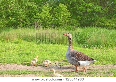 Goose With Goslings On A Meadow