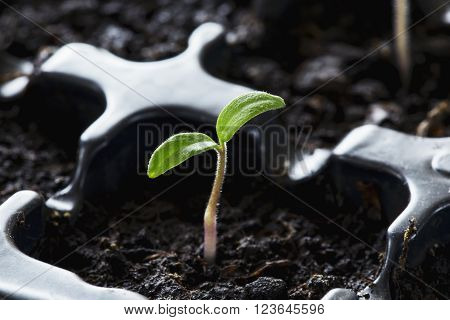 the cotyledons leaves on a young plants
