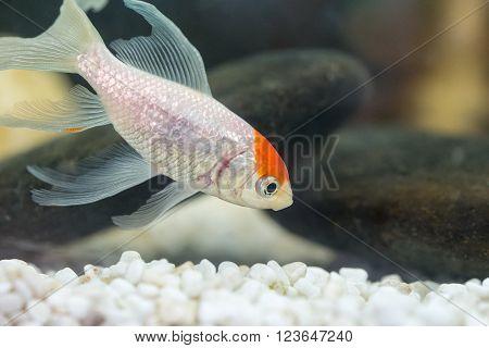 goldfish in the aquarium water close up