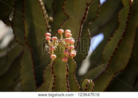 Blossoms of a Euphorbia abyssinica tree in Africa.