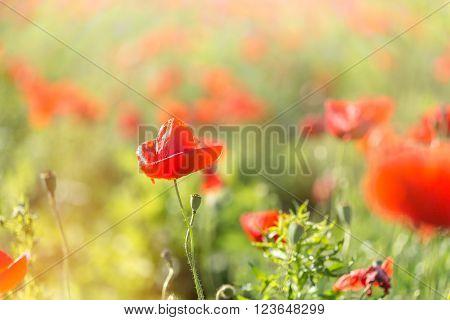 Beautiful red poppy flower in meadow - wild poppy flower