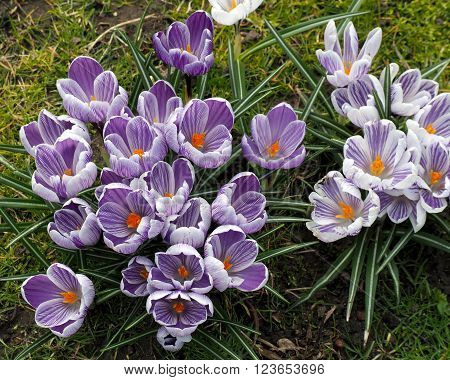 Spring crocus flowers open in full bloom