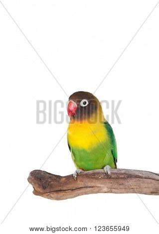Nice parrot with red beak and yellow and green plumage on white background