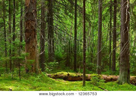 The depths of a pine forest