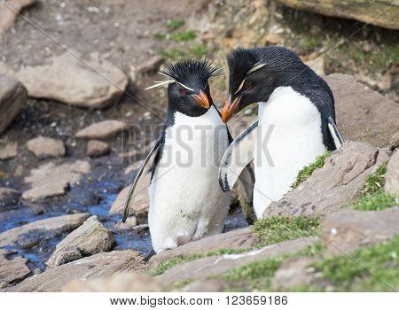 Rockhopper penguins one beaach in Falkland Island