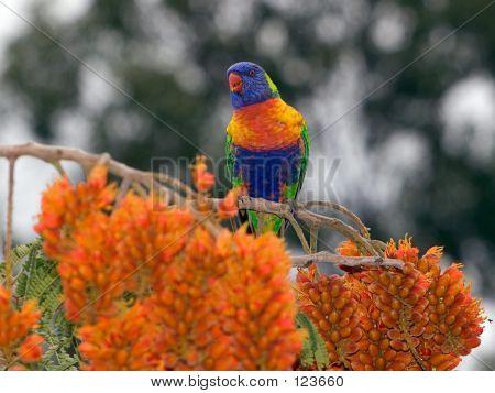 Rainbow Lorikeet #2