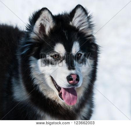 Puppy of mix breed. This mixed breed's parents have been a Alaskan malamute and Siberian husky.