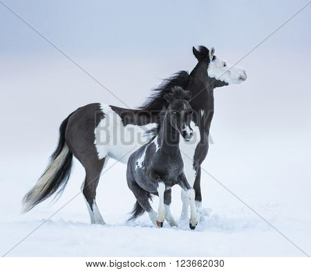 Mare whit foal on winter field. Breed horse - American miniature horse.