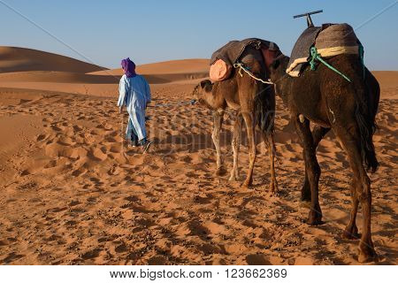 Berber Man Leading Caravan, Hassilabied, Sahara Desert, Morocco