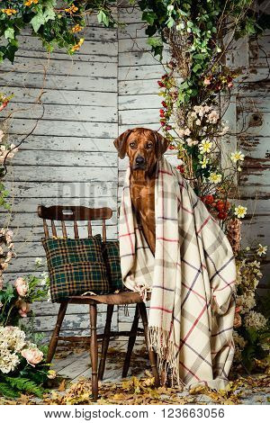 Rhodesian Ridgeback sitting on a chair covered with a plaid in autumn decorations