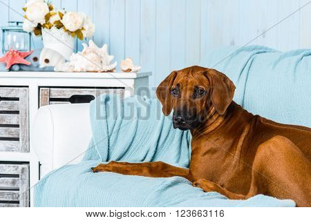 Rhodesian Ridgeback puppy lying on a sofa in a marine style interior