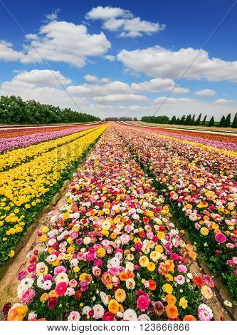 The magnificent flower carpet of colorful garden of buttercups close to the border. Spring flowering buttercups. Israeli kibbutz in the south