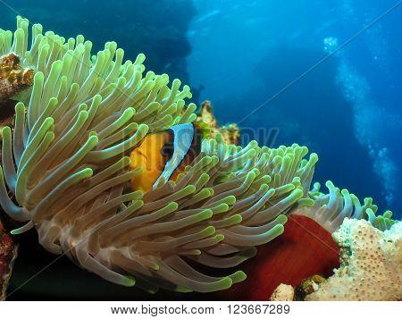 Twoband Anemonefish
