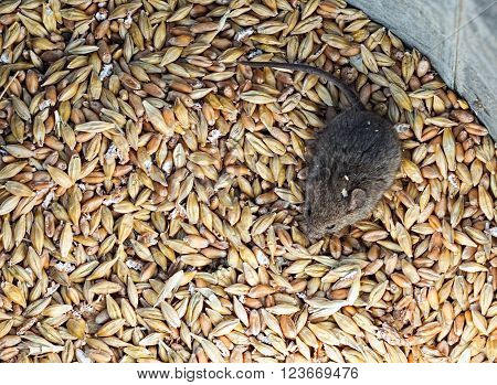 Little house mouse sitting in a pile of grain. Selective focus close-up top view image
