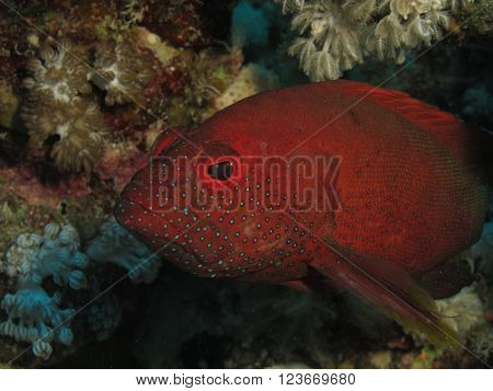 Halfspotted Grouper Portrait