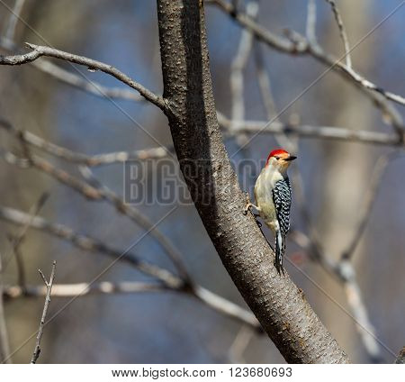 The red-bellied woodpecker is a medium-sized woodpecker of the Picidae family. It breeds in southern Canada, northeastern Mexico, and the northeastern United States, ranging as far south as Florida and as far west as Texas.